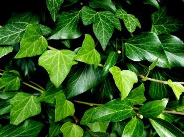 How to Kill Ivy Plant