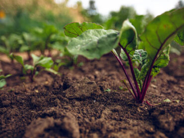 How to Grow Beetroot?