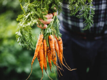 When are Carrots Ready to Harvest?